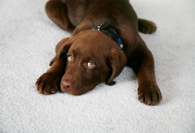 12-Tips-to-Protect-Your-Carpet-from-Pets